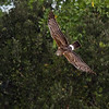 A Northern Harrier doing a banking maneuver - Green Cay Wetlands, Boynton Beach, FL