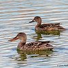 Two Northern Shovelers at Peaceful Waters Wetland in Wellington, FL