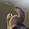 An Anhinga youngster begging - Wakodahatchee Wetlands