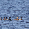 A Ring-necked Duck family - STA-1E, Wellington, FL