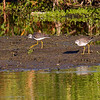 A pair of Lesser Yellowlegs- STA-1E , Wellington, FL