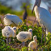 Adult Woodstork and it's three youngsters - Wakodahatchee Wetlands