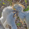 Cattle Egret chicks begging for a meal - Wakodahatchee Wetlands