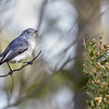 A Blue-gray Gnatcatcher at Daggerwing in Boca Raton, FL