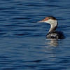 Horned Grebe, an uncommon visitor to this part of Florida - Wellington Environmental Preserve, FL