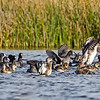 A mixed group made up of Teals, Coots and Pintails -- Wellington Environmental Preserve, FL