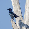 A handsome male Boat-tailed Grackle- Peaceful Waters, Wellington, FL