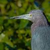 Little Blue Heron close up - Peaceful Waters Sanctuary, Wellington, FL