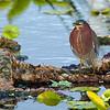 Green Heron Calling - Wakodahatchee Wetlands, FL