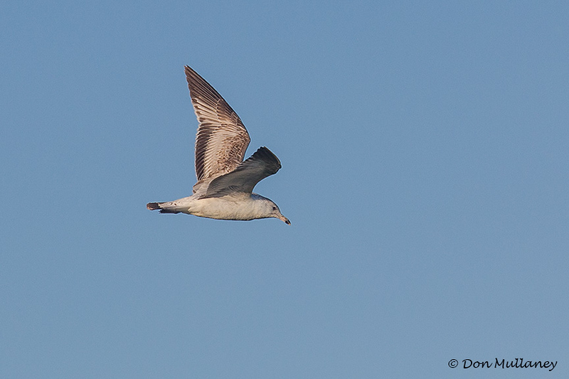 Ring-billed Gull in flight - Peaceful Waters Sanctuary, Wellington, FL