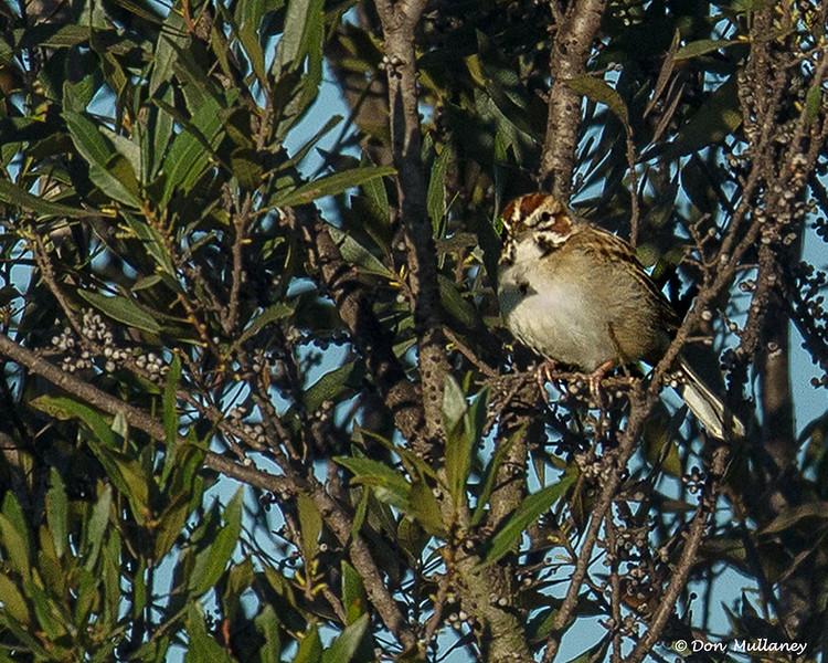 Lark Sparrow - Peaceful Waters Sanctuary, Wellington, FL