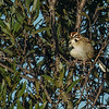 Lark Sparrow - Peaceful Waters Sanctuary, Wellington, FL