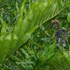 A Tri-colored Heron chick in the green foliage- Wakodahatchee Wetlands, Delray Beach, FL