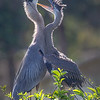Adult and young Great Blue Heron having a conversation - Wakodahatchee Wetlands