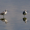 A pair of American Avocets- STA-2, Belle Glade, FL