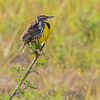 Eastern Meadowlark - STA-1E Wellington, FL
