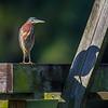 Green Heron with shadow- Peaceful Waters, Wellington, FL