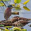 Green Heron - Wakodahatchee Wetlands, FL
