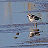 A Semi-palmated Plover- STA-1E  Wellington, FL
