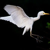 Cattle Egret landing on rookery - Wakodahatchee Wetlands, Delray Beach, FL