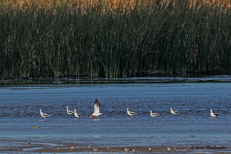 A line of Avocets, included a male in breeding colors, near center. - STA-1E  Wellington, FL