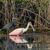 Tri-colored Heron and Roseate Spoonbill feeding - STA-1E, Wellington, FL