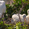 A group of Woodstork youngsters - Wakodahatchee Wetlands