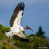 A Woodstork with a real light load!- Wakodahatchee Wetlands, Delray Beach, FL