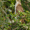 Cooper's Hawk - WakodahatcheeWetlands, FL