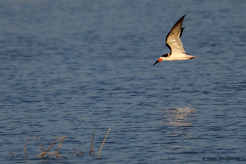 In flight shot of a Black Skimmer- STA-1E  Wellington, FL