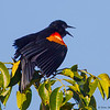 Red-winged Blackbird calling- Peaceful Waters, Wellington, FL