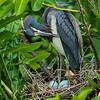 A Tri-colored Heron with eggs- Wakodahatchee Wetlands, Delray Beach, FL
