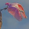 Roseate Spoonbill taking off - Green Cay Wetlands, Boynton Beach, FL