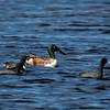 A male Northern Shoveler with Coots- STA-1E, Wellington, FL