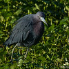 Little Blue Heron on the prowl - Peaceful Waters Sanctuary, Wellington, FL
