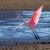 A backlit Roseate Spoonbill taking to the air- STA-1E , Wellington, FL