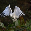 Great Egret landing - Wakodahatchee Wetlands, Delray Beach, FL