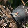 A Tri-colored Heron in a nest- Wakodahatchee Wetlands, Delray Beach, FL