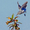 Blue-gray Gnatcatcher searching for a meal - Peaceful Waters, Wellington, FL