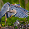 Great Blue Heron with chick - Wakodahatchee Wetlands, Delray Beach, FL