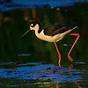 Black-necked Stilt in morning light- Wakodahatchee Wetlands, Delray Beach, FL
