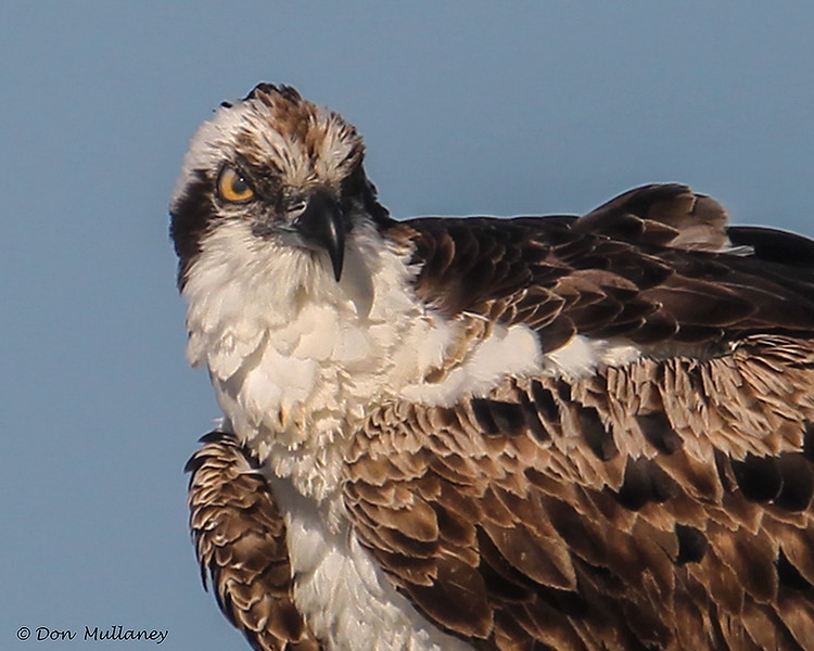Head shot of an Osprey- STA-1E  Wellington, FL