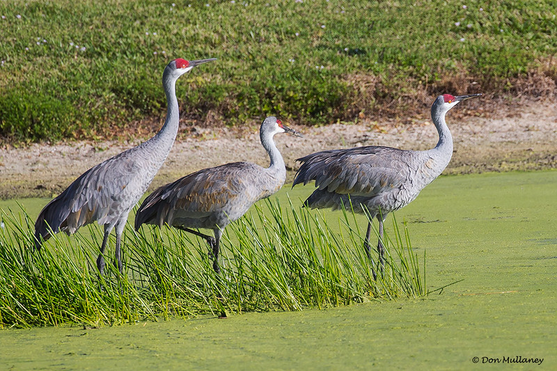 A trio of Sandhill Cranes- Peaceful Waters, Wellington, FL