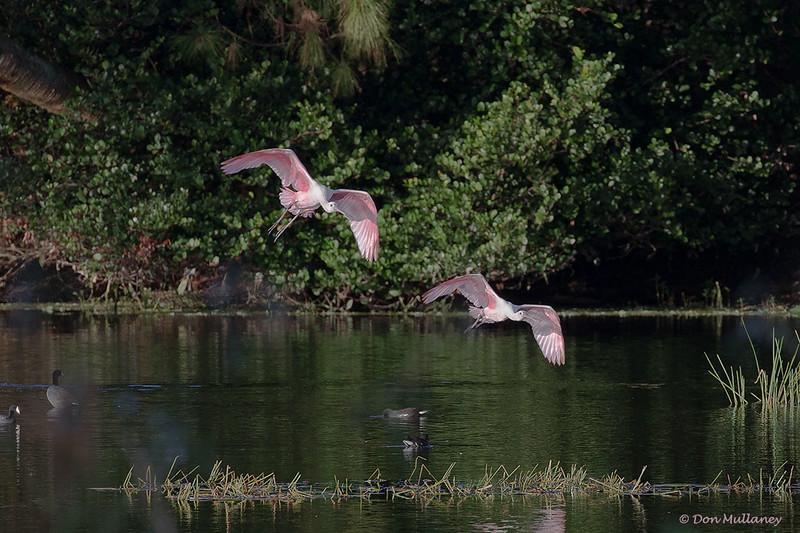 Two Spoonbills landing- Green Cay Wetlands, Boynton Beach, FL