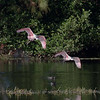 Two Spoonbills landing- Green Cay Wetlands, Boynton Beach, FL