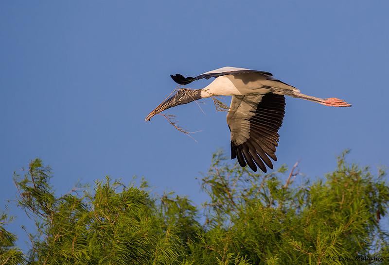 Wood Stork in flight with nesting material- Wakodahatchee Wetlands, Delray Beach, FL