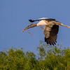 Wood Stork in flight with nesting material- Wakodahatchee Wetlands, Delray Beach, FL