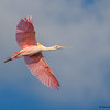 Roseate Spoonbill in flight - Green Cay Wetlands, Boynton Beach, FL