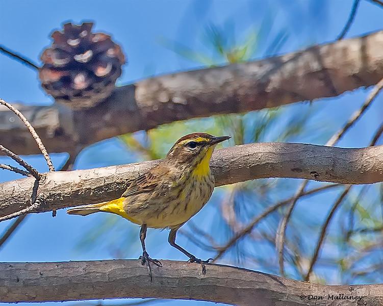 Palm Warbler - Seacrest Scrub, Boynton Beach, FL
