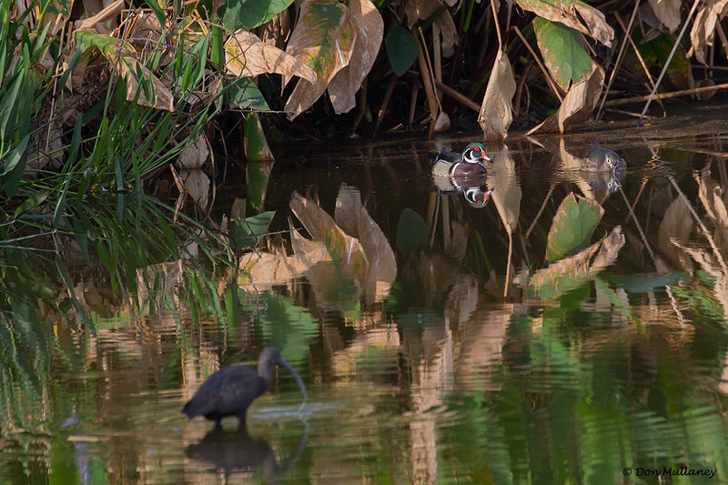 A pair of Wood Ducks in habitat- Peaceful Waters, Wellington, FL